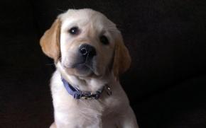 Picture look, puppy, Labrador