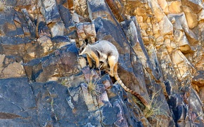 Picture rocks, Australia, yellow-footed rock Wallaby, ring-tailed kangaroo