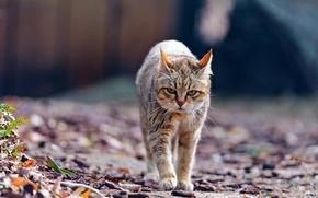Wallpaper leaves, wild cat, wildcat