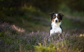 Picture dog, Australian shepherd, Heather, Aussie