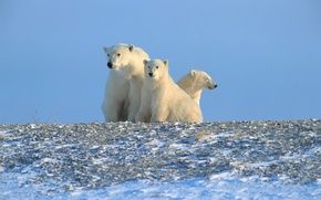 Wallpaper polar bears, Arctic, North