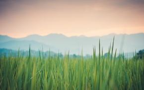 Picture grass, macro, Rosa, Thailand, green, Pai