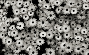 Picture flowers, beauty, black and white