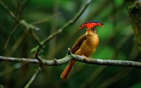 Picture bird, paint, Brazil, crest