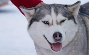 Picture white, snow, Dog, husky, Siberia