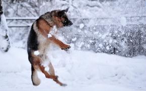 Picture winter, snow, dog, rasstrel