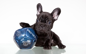 Picture black, the ball, puppy, French bulldog