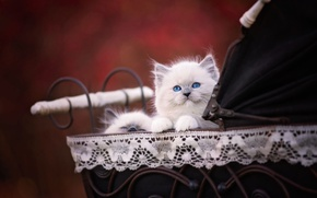 Picture cat, kitty, fluffy, kittens, stroller, face, cutie, baby, Siamese, blue-eyed, sticks, ragdoll, the pregnant