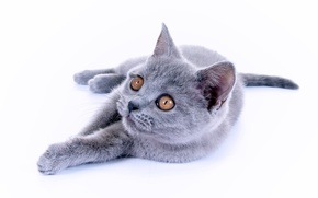 Picture cat, kitty, British Shorthair