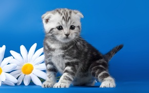 Picture flowers, chamomile, kitty