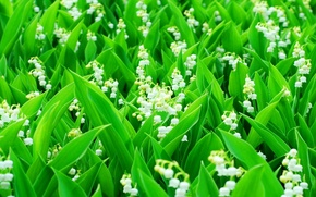 Wallpaper stems, lilies of the valley, field, leaves