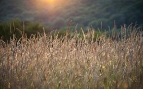 Picture summer, grass, spikelets, sunlight
