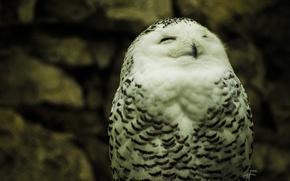 Picture nature, Wallpaper, Owl, white, white, polar, owl, eyes. feathers