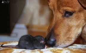 Picture animals, Dogs, rats, Pets