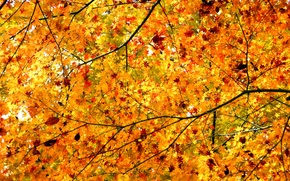 Picture autumn, leaves, branches, tree, maple, crown