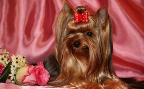 Picture animals, photo, rose, dog, Yorkshire Terrier