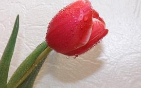 Wallpaper flower, Tulip, spring, drops