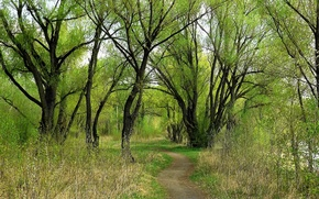 Picture greens, forest, Spring, willow, Siberia