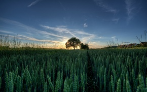 Picture spikelets, tree, field, the sun, the sky, grass, landscape, sunset