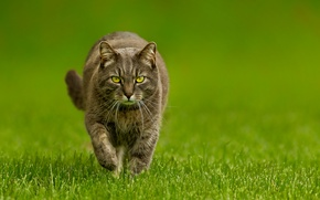 Wallpaper grass, green, cat, background, Kote