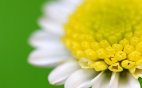 Picture Daisy, green