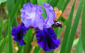 Picture purple, flowers, irises