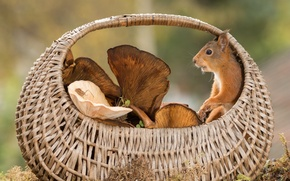 Picture animal, basket, mushrooms, protein, rodent