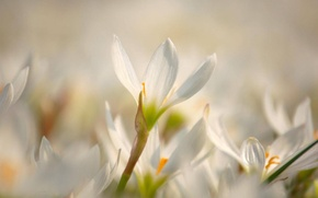 Picture flowers, tenderness, Sunny, rays, thaw, glade, glare, spring, snowdrops