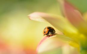 Picture petals, ladybug, flower, Dahlia