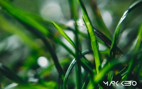 Picture greens, summer, grass, light, Rosa, morning, leaves