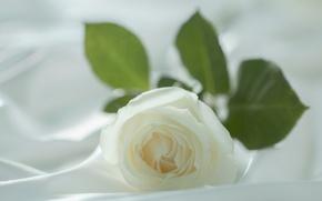 Wallpaper Bud, macro, white rose, matter, white, rose