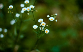 Picture white, green, chamomile