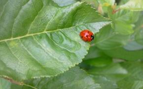Picture greens, ladybug, Leaf, summer day
