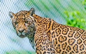 Picture look, predator, Jaguar