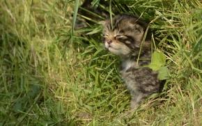 Picture grass, kitty, wild cat, Scottish wild cat