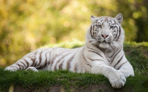Picture cat, grass, white tiger