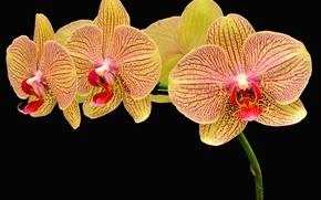 Picture flowers, petals, orchids, black background