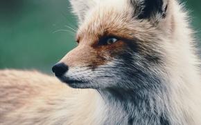 Wallpaper look, wool, Fox, Fox