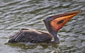 Picture water, bird, food, fish, catch, Pelican