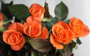Wallpaper flowers, roses, bouquet, petals
