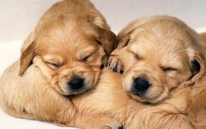 Picture sleep, dog, puppy, puppy