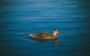 Wallpaper feathers, water, duck, bird