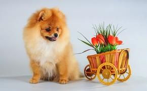 Picture flowers, puppy, Spitz