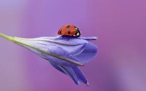 Wallpaper flower, drops, Rosa, background, ladybug
