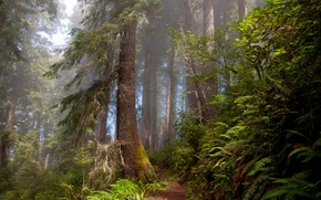 Picture forest, nature, trail, ferns