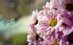 Picture flower, macro, flowers, background, pink, widescreen, Wallpaper, blur, wallpaper, flower, widescreen, flowers, background, macro, bokeh, ...