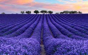 Picture flowers, France, lavender, tree, field, Provence, the sky, clouds