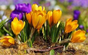 Wallpaper purple, flowers, yellow, spring, crocuses