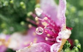 Picture flower, water, macro, Rosa, petals