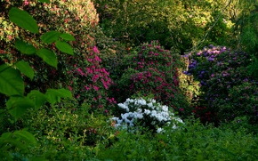 Picture greens, flowers, garden, Ireland, the bushes, Dublin, rhododendron